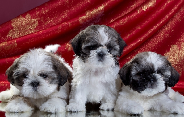 Shih Tzu Wallpapers Free - WallpaperSafari