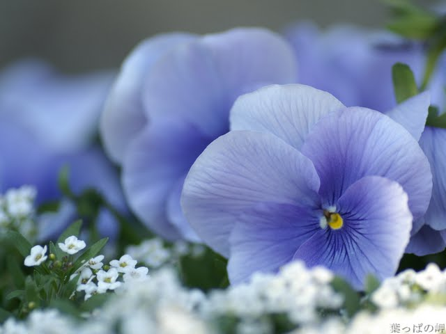 Light Blue Pansy Flowers Violets Wallpaper Pictures 640x480