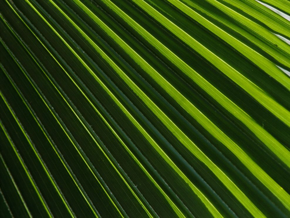 Photo Palm fronds 989x742