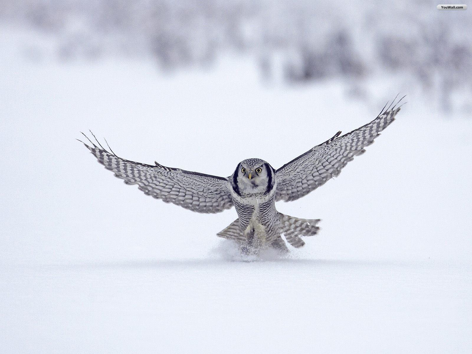 YouWall   Flying Owl Wallpaper   wallpaperwallpapersfree wallpaper 1600x1200