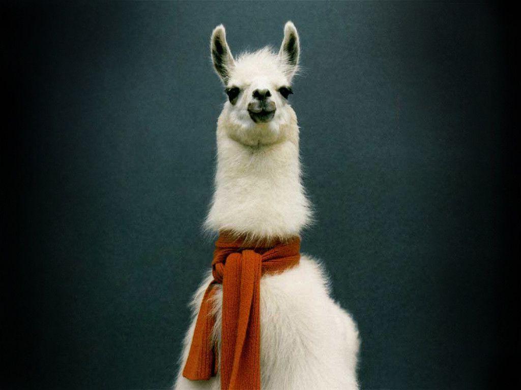 Llama Backgrounds 1024x768