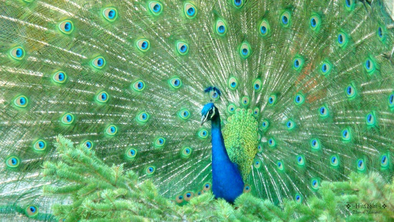 desktop peacock feather wallpapers desktop peacock feather wallpapers 1413x795