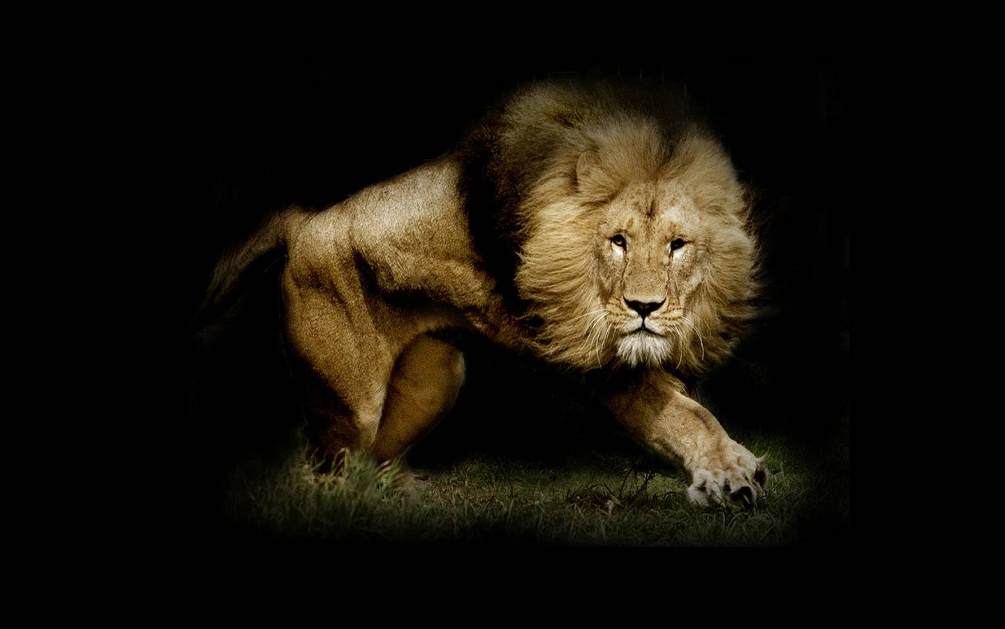 download lions mobile wallpaper which is under the lion wallpapers 1440x901