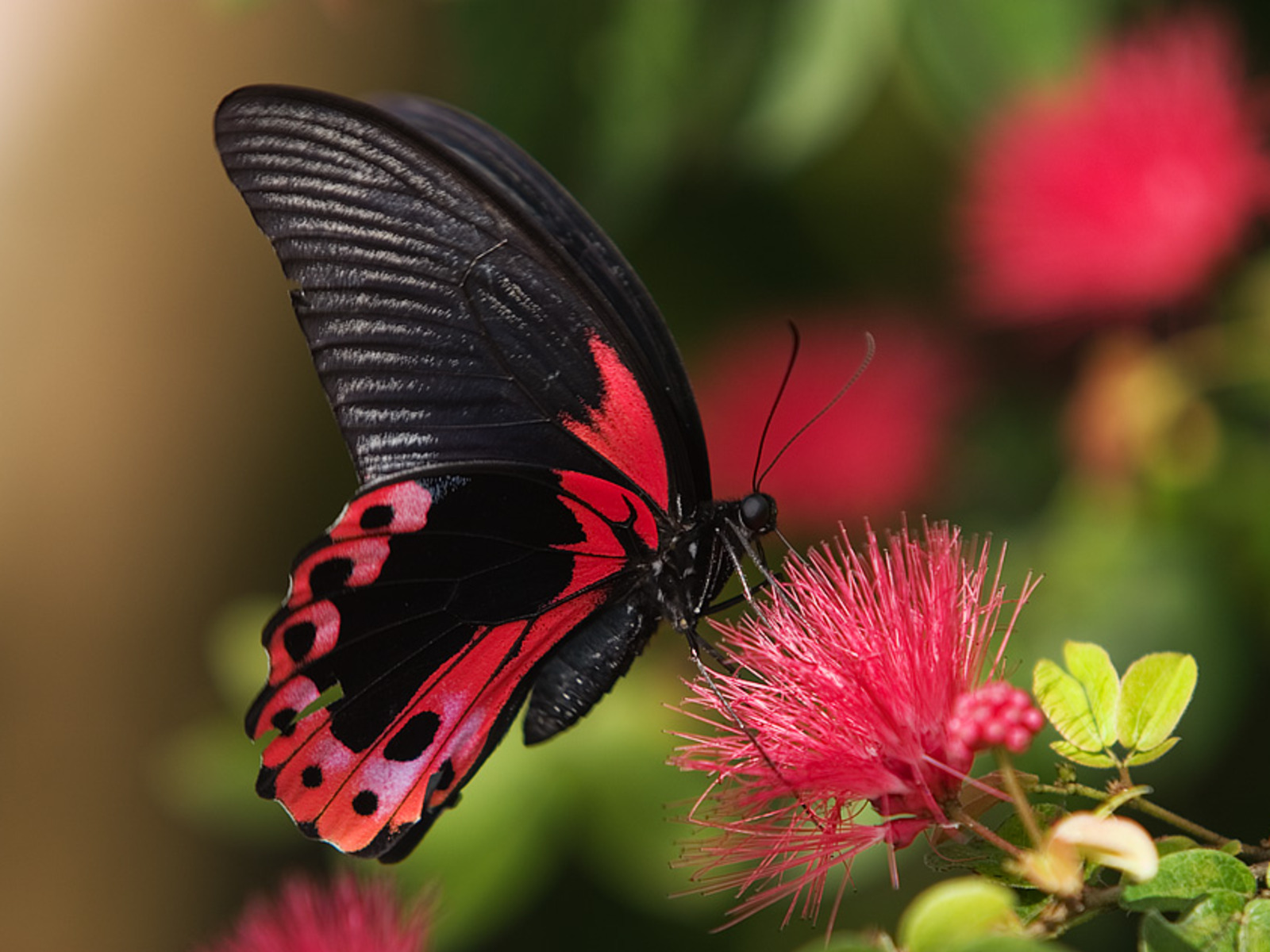 Download Pink And Black Butterfly Wallpaper Wallpapers High