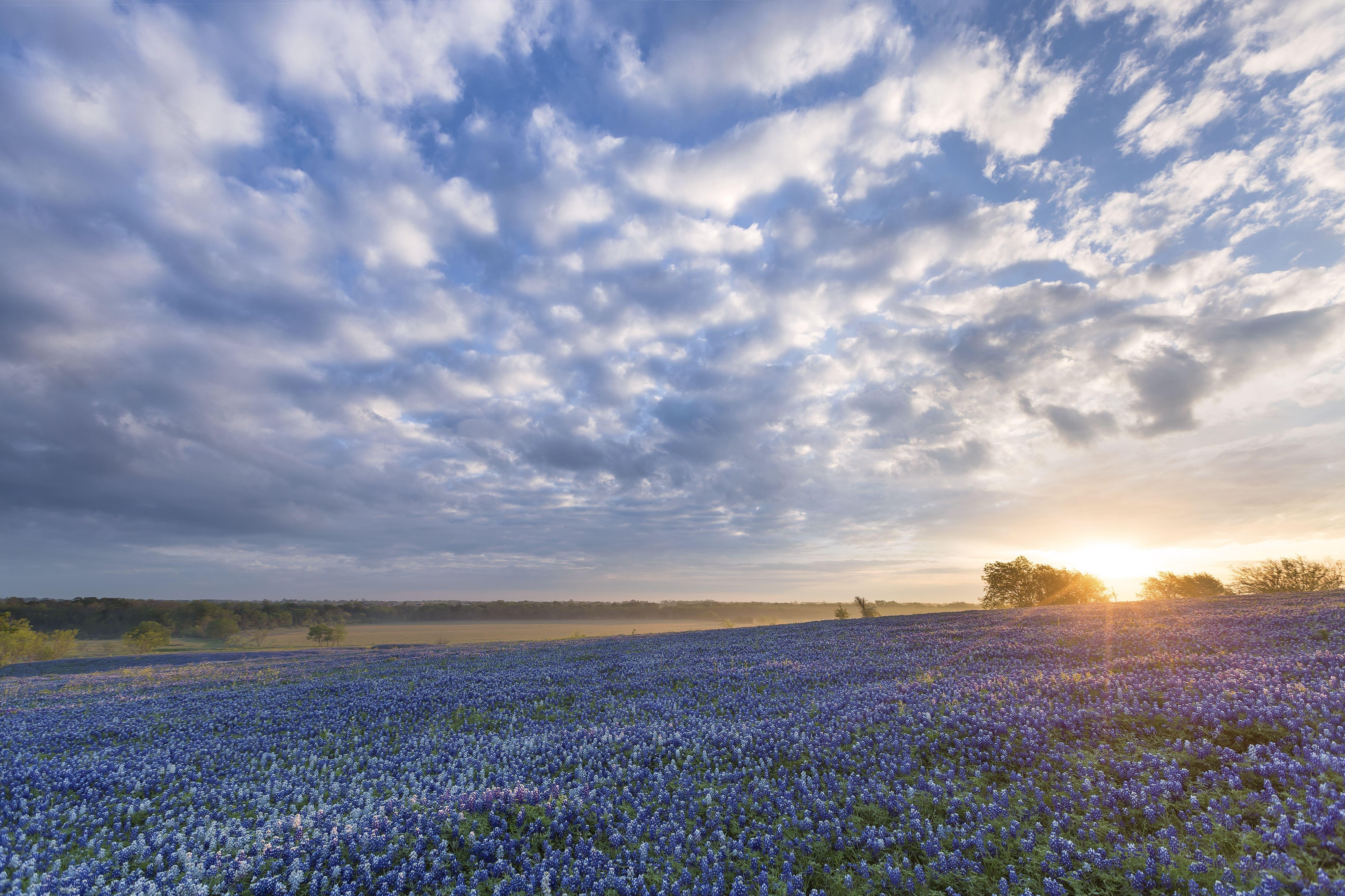 Bluebonnet Sunrise Ennis Texas flowers field wallpaper 5730x3820 5730x3820