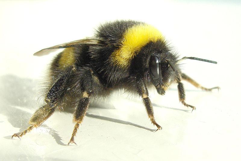 Bumble Bee 800x533