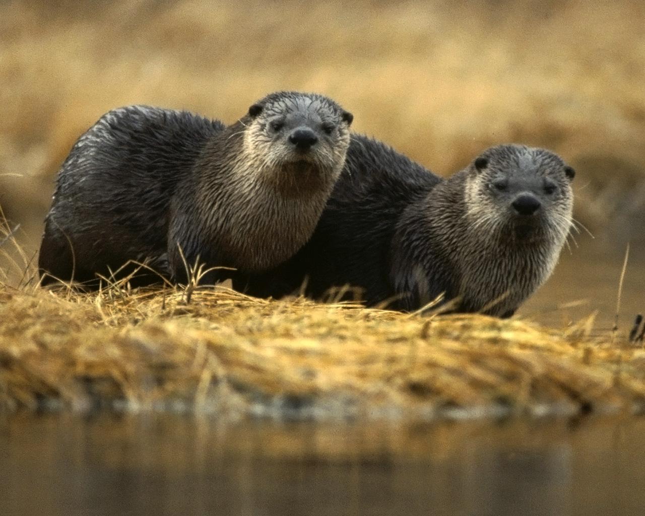 Otters Wallpaper 1280x1024