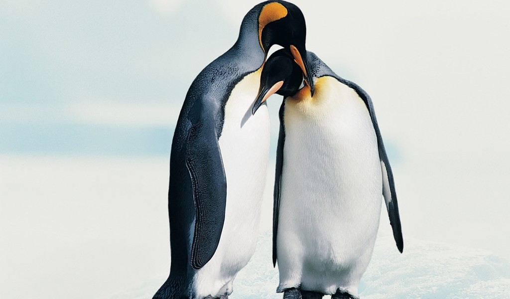 Penguins in love   Animal couple wallpaper 1024x600