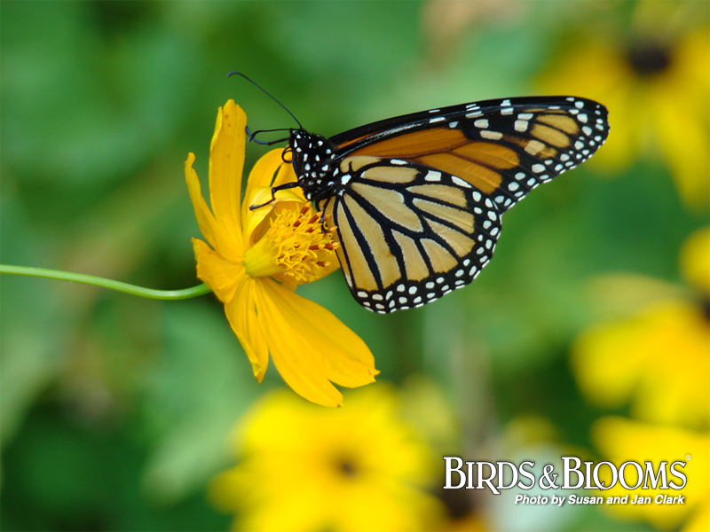 Monarch butterfly wallpaper butterfly wallpaper images monarch 800x600