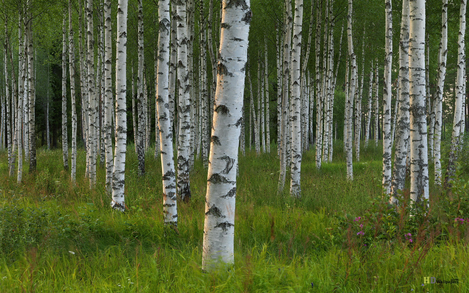 White Birch Trees Natural Black White Birch Trees HD Wallpaper 1600x1000