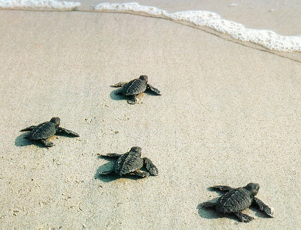 Cute Baby Sea Turtle Wallpaper Images Pictures   Becuo 620x475