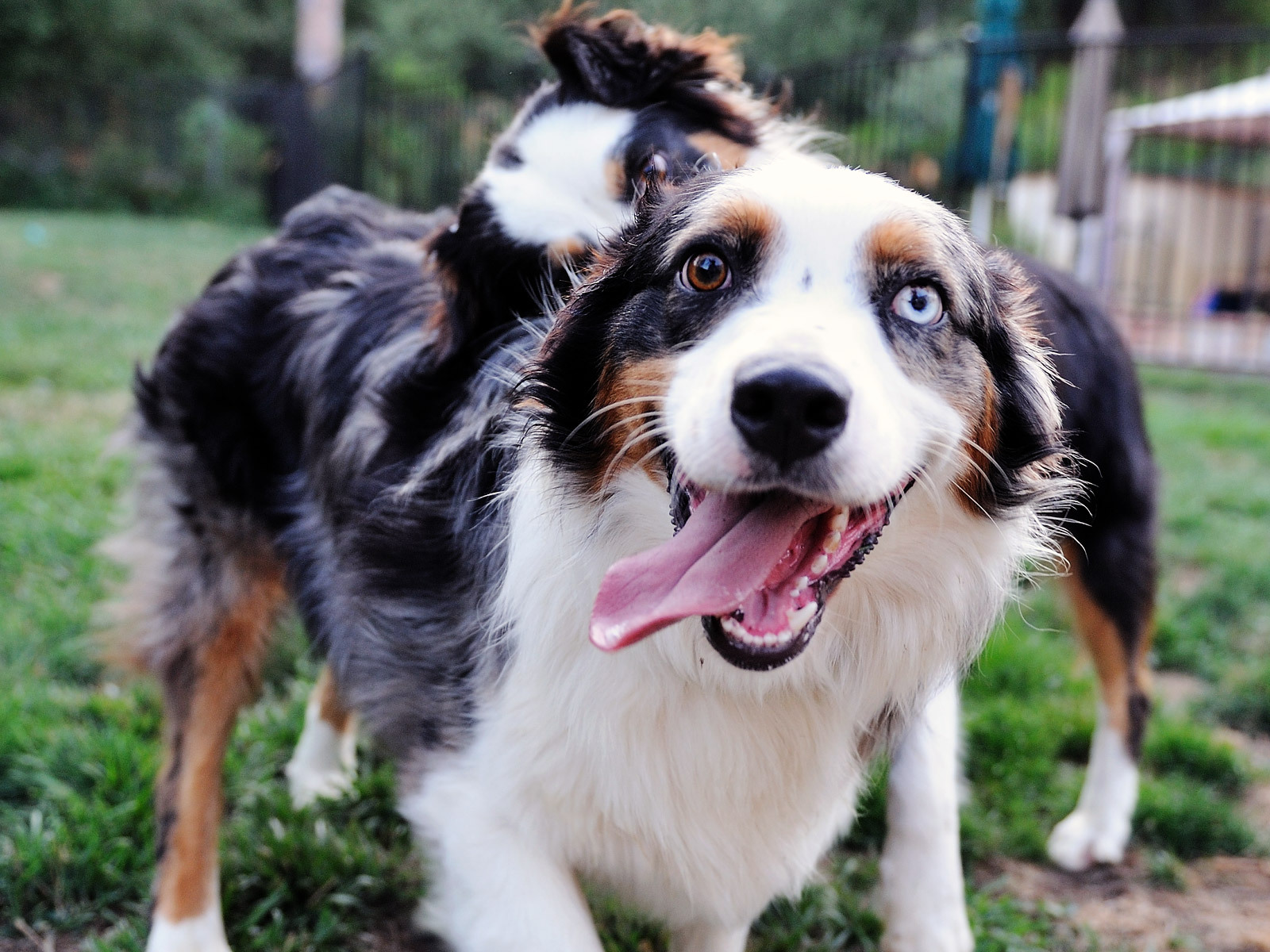 Happy Australian Shepherd with different eyes wallpapers and images 1600x1200
