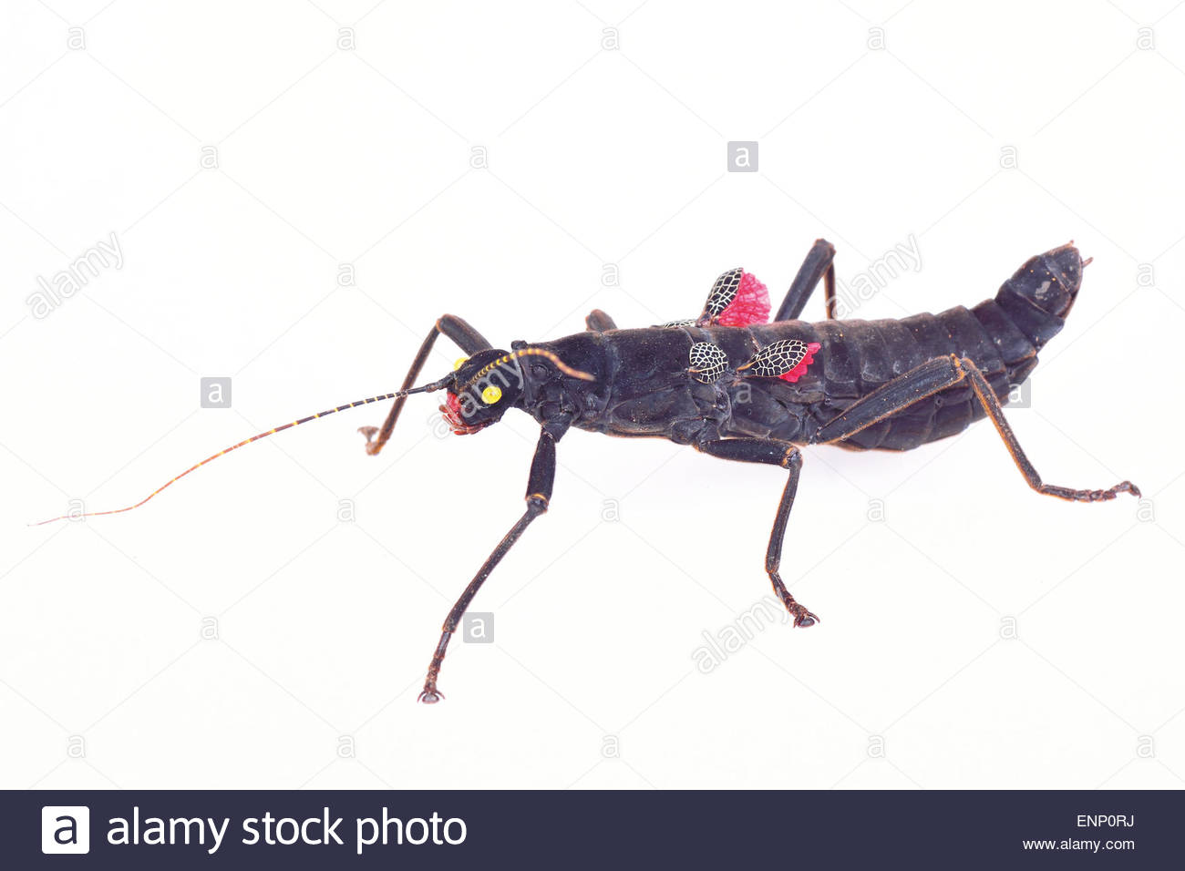 Black Phasmatodea with red wings on a white background Stock Photo 1300x956