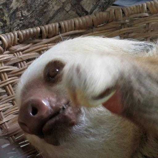 Three toed sloth wallpaper wallpapersafari - Sloth wallpaper phone ...