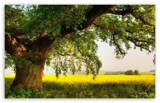 Oak Tree wallpaper 510x330