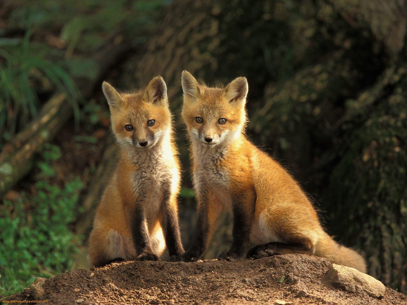 Red Fox   Red Foxes Wallpaper 13290504 1600x1200