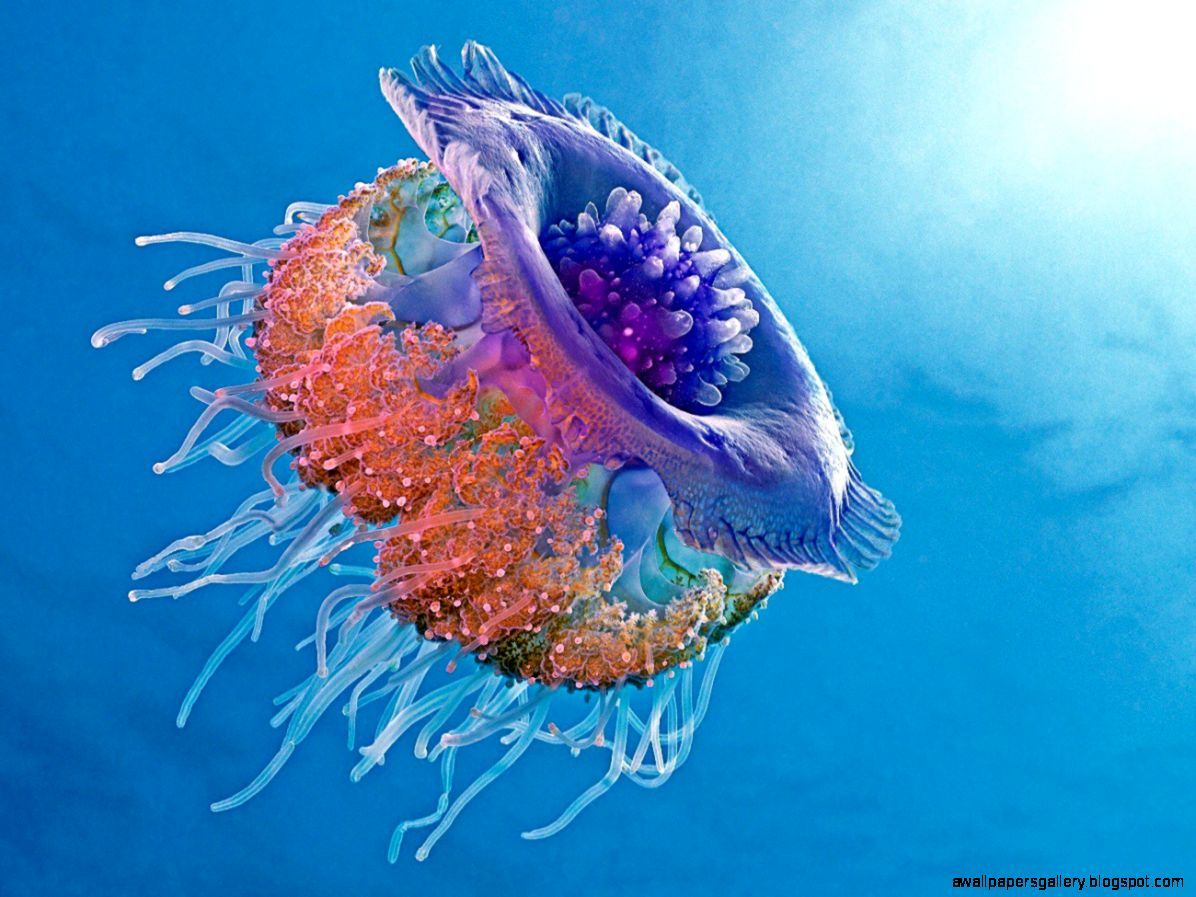 colorful jellyfish wallpaper wallpapersafari