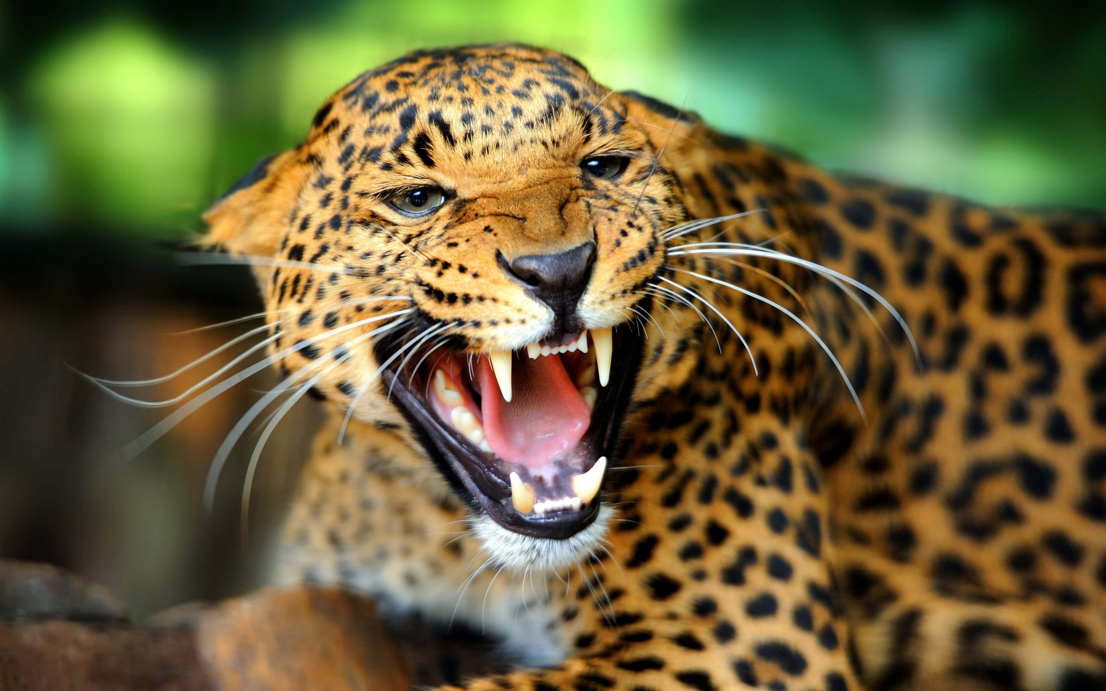 Download Leopard Wild Animal HD Wallpaper Search more Wild Animals 3840x2400