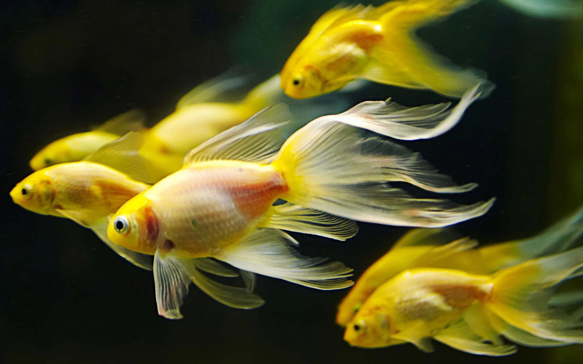 Fish aquarium wallpaper free download - Yellow Aquarium Fish Wallpapers55 Com Best Wallpapers For Pcs
