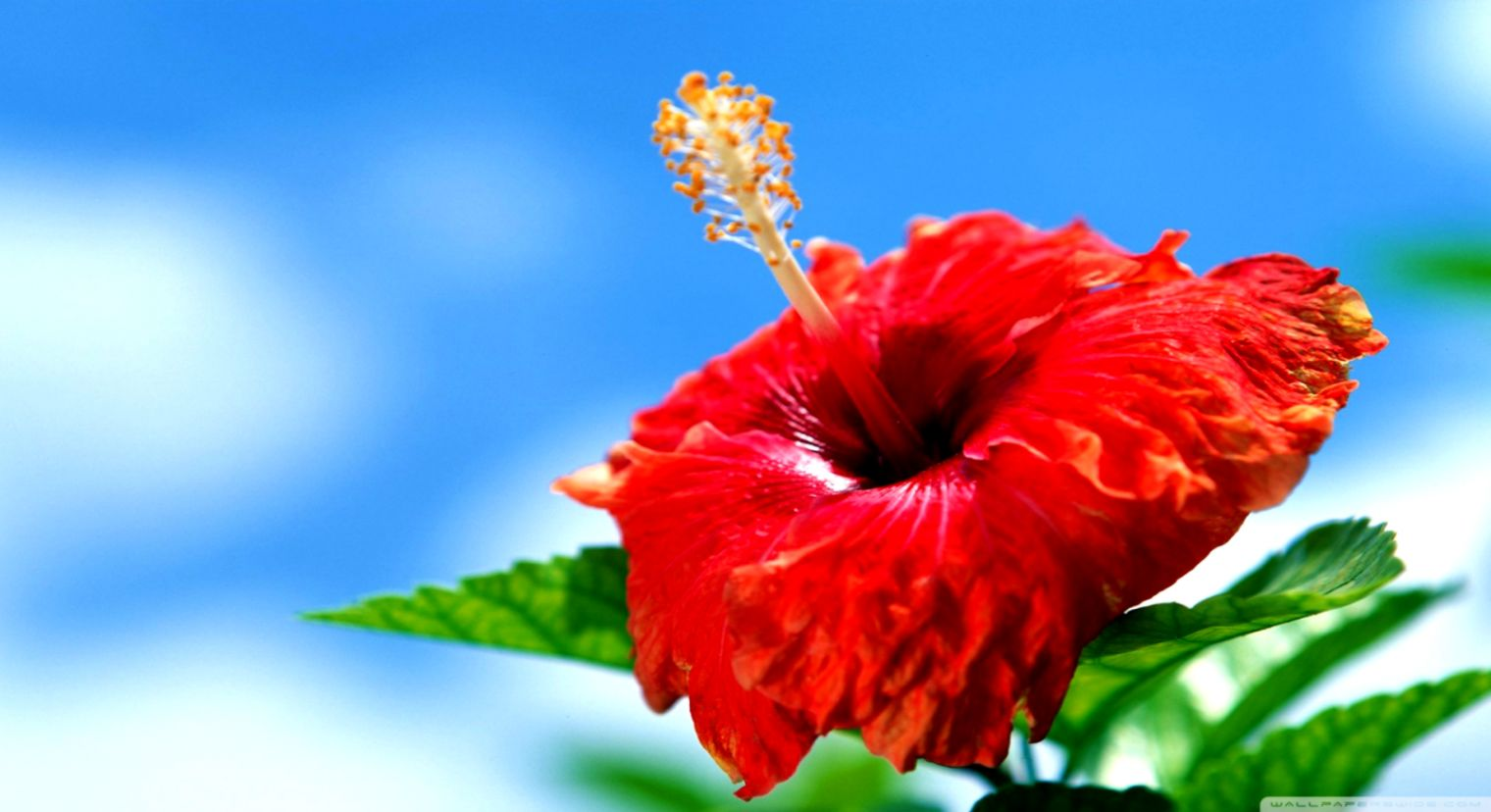 Hibiscus Flowers Wallpaper Wallpapers Magazine 1520x828