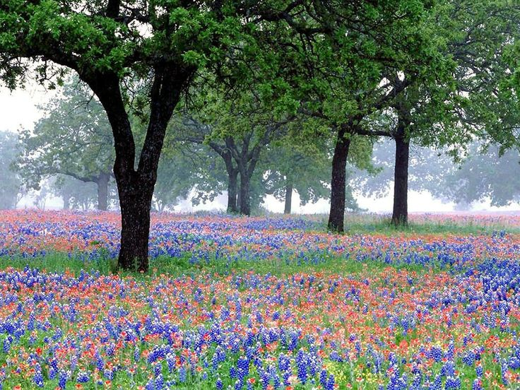 Texas Bluebonnets Texas Pinterest 736x552