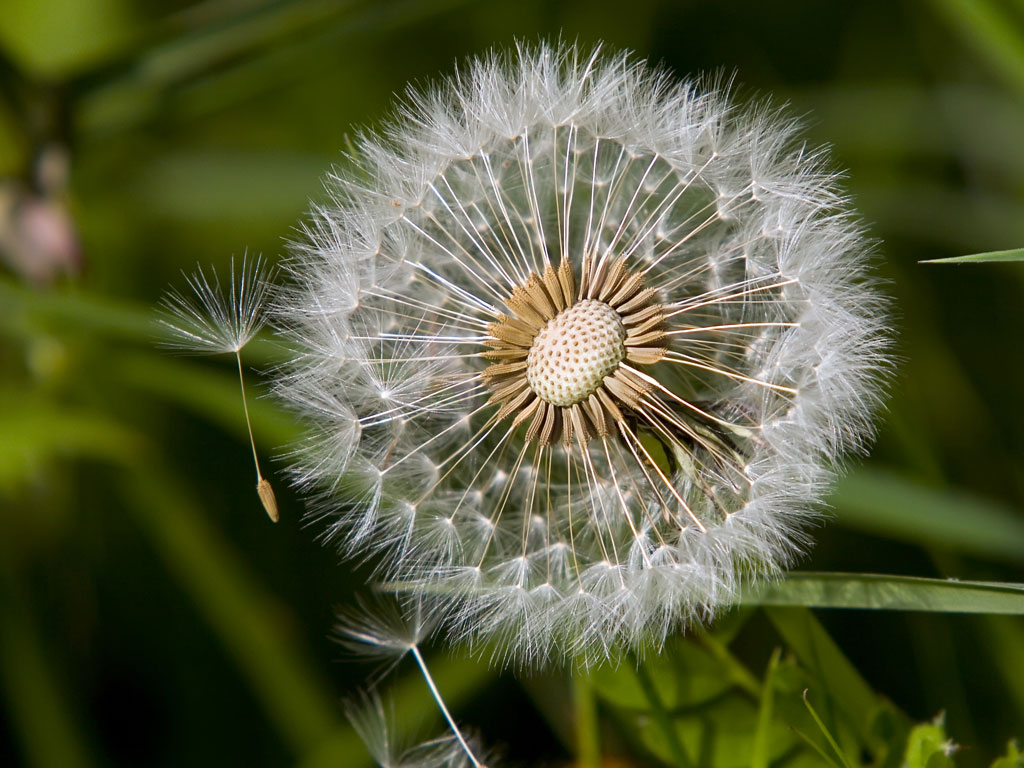 Picture of a Dandelion Seed Head   Wildflowers Background   1024x768 1024x768