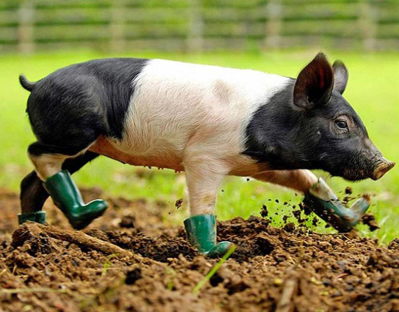 Pig Wallpapers Fun Animals Wiki Videos Pictures Stories 1279x1002