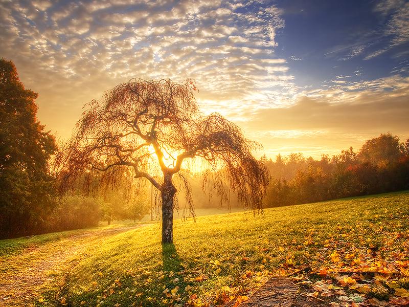 Beautiful Willow Tree   Desktop Wallpapers 800x600