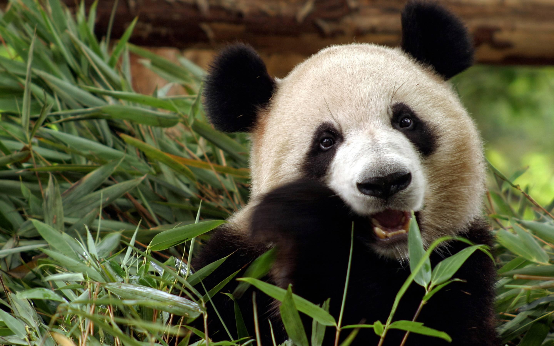 Sweet Panda Eating Bamboo   Animal Lovers Wallpaper 2880x1800