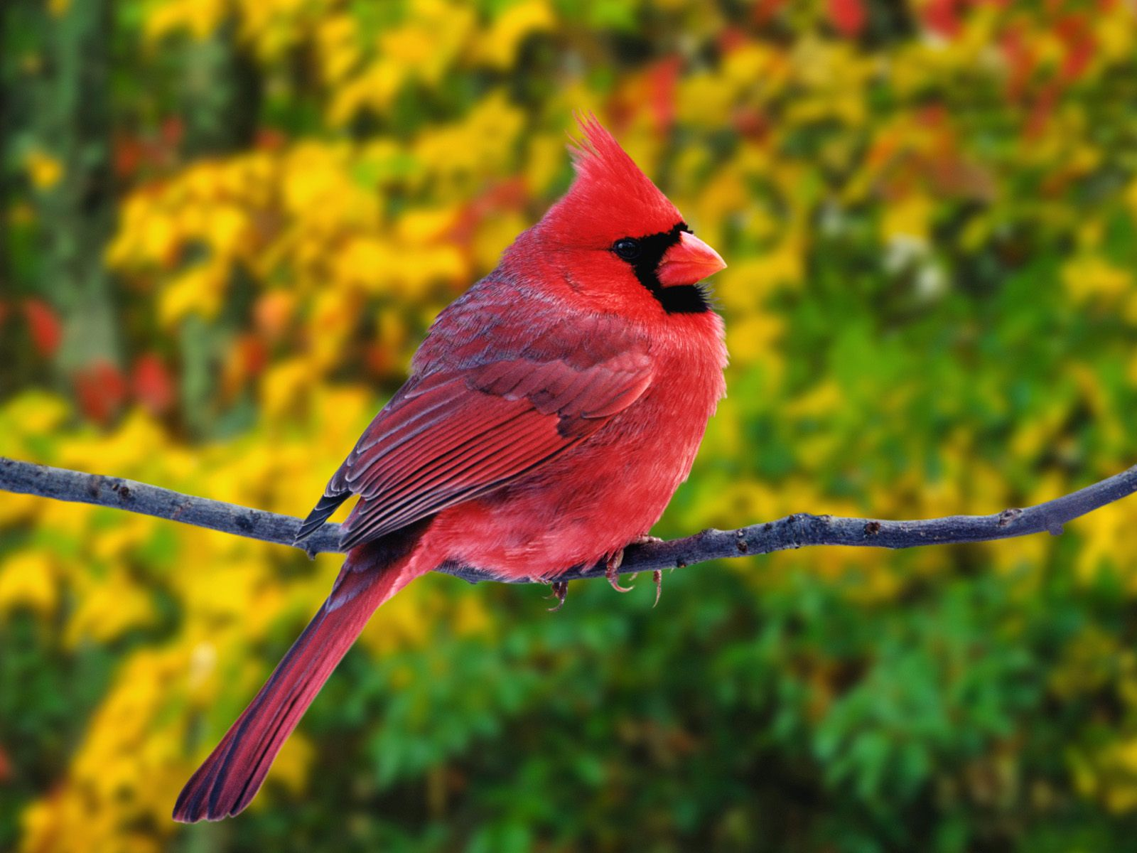 HQ Male Northern Cardinal Wallpaper   HQ Wallpapers 1600x1200