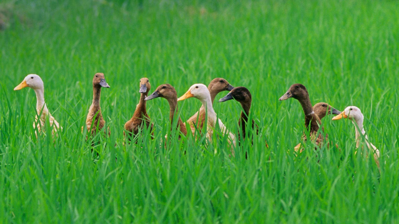 Ducks in a rice field near Ubud Bali Indonesia wallpaper by 1366x768