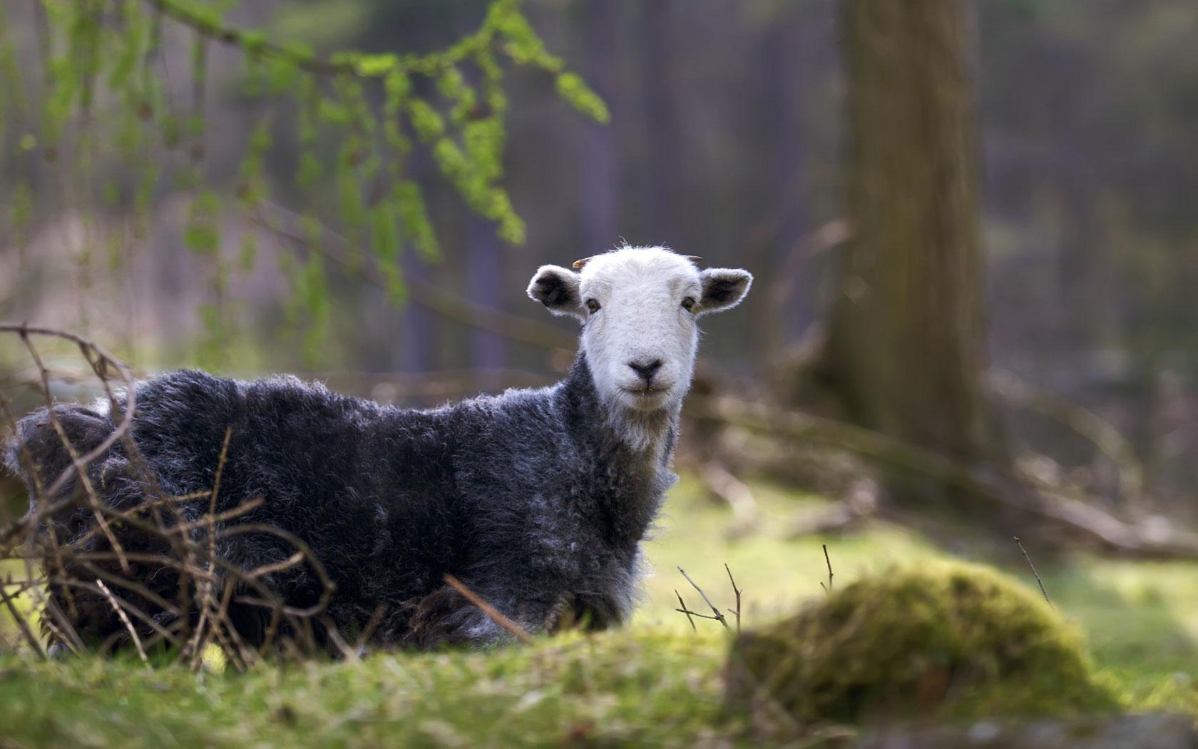 Free Download Black Sheep Wallpaper Black Sheep Desktop