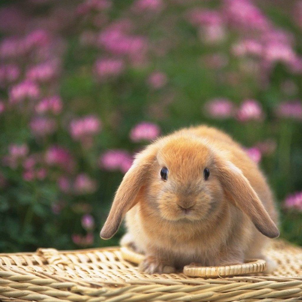 Cute bunny the iPad wallpapers iPad Backgrounds Best iPad Wallpaper 1024x1024