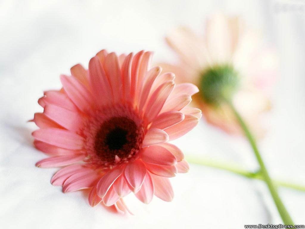 wallpapers flowers gardens backgrounds pink gerbera daisy pink gerbera 1024x768