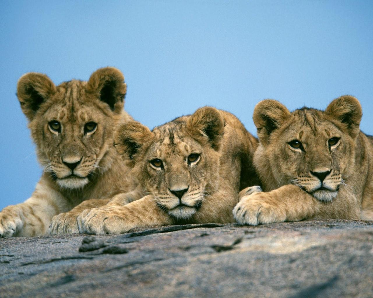1280x1024 Lion cubs desktop PC and Mac wallpaper 1280x1024