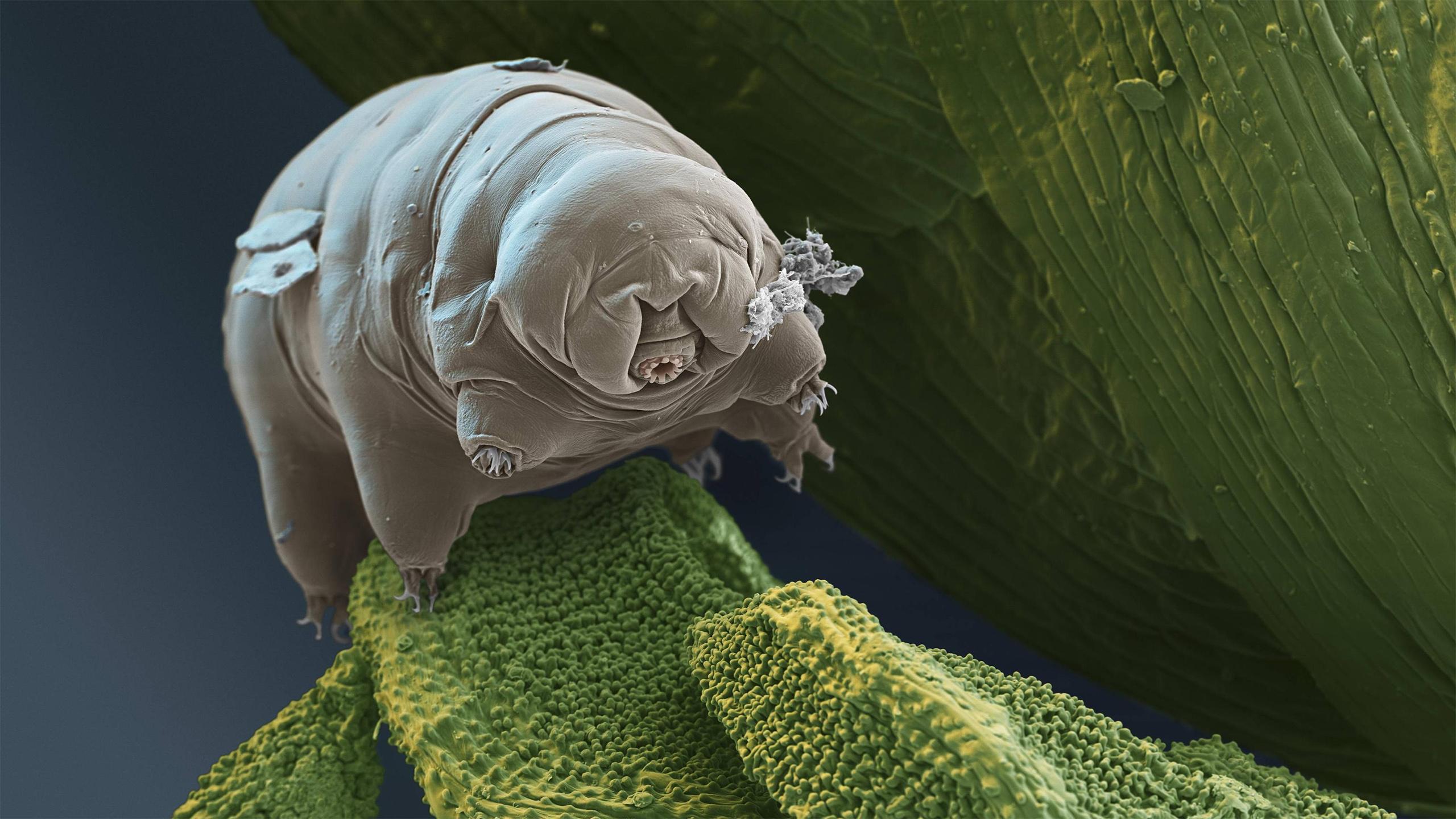 Electron microscope picture of a Tardigrade iimgurcom 2560x1440