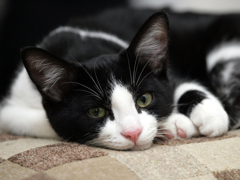 Free Download Cats Images Black White Cat Hd Wallpaper And Background Photos 800x600 For Your Desktop Mobile Tablet Explore 65 Black And White Cat Wallpaper White Cat Wallpaper Free
