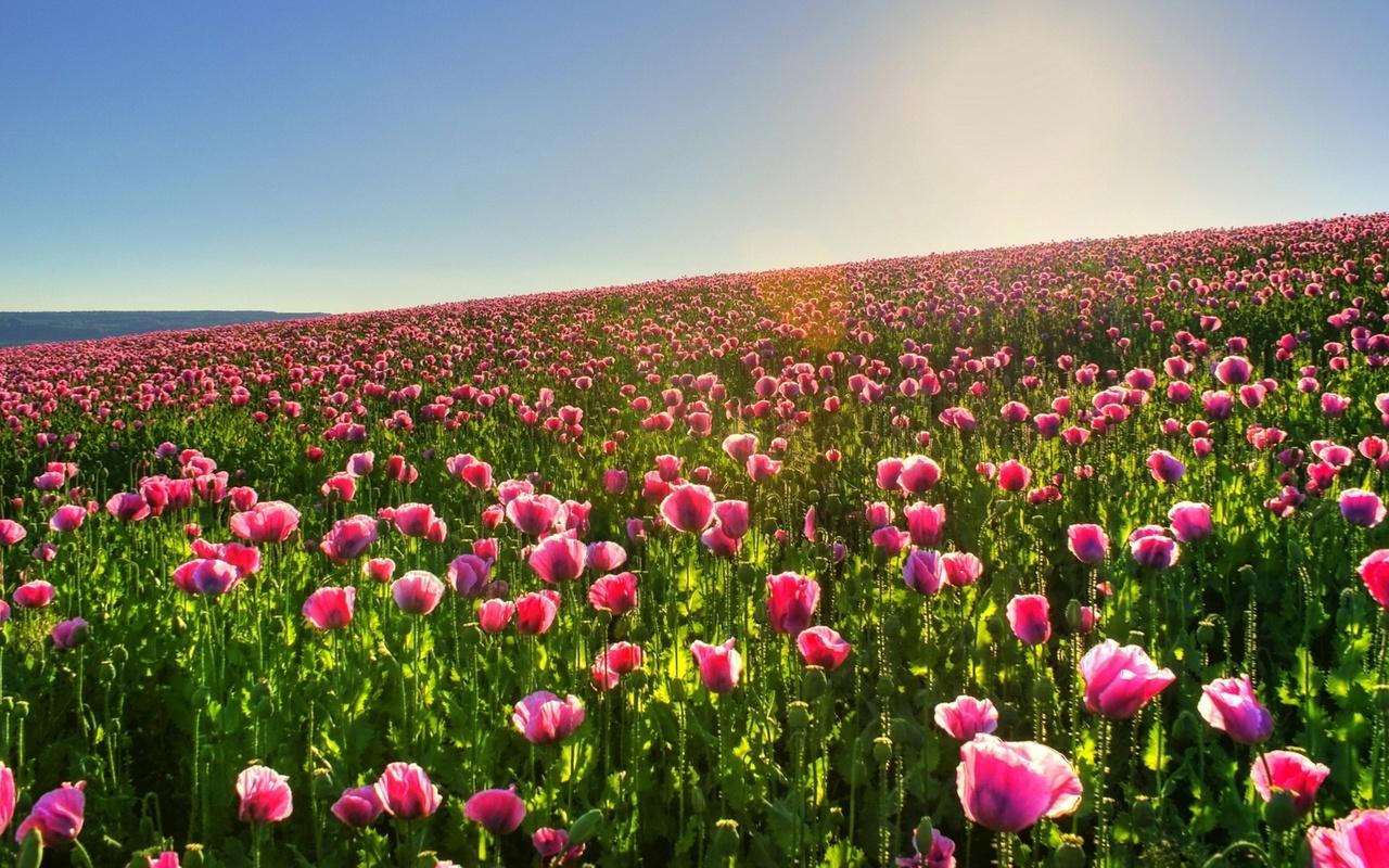 Pink poppy field Widescreen Wallpaper   4574 1280x800