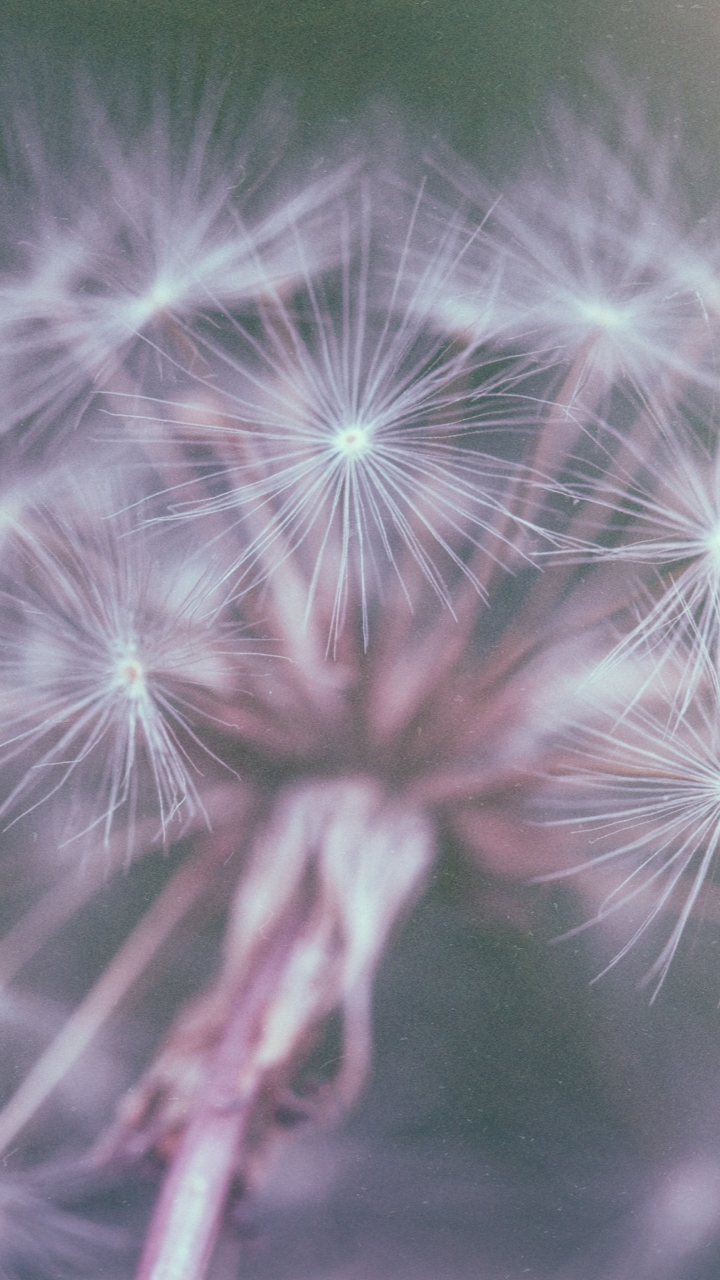 Dandelion FluffSamsung Wallpaper Download | Free Samsung Wallpapers ...
