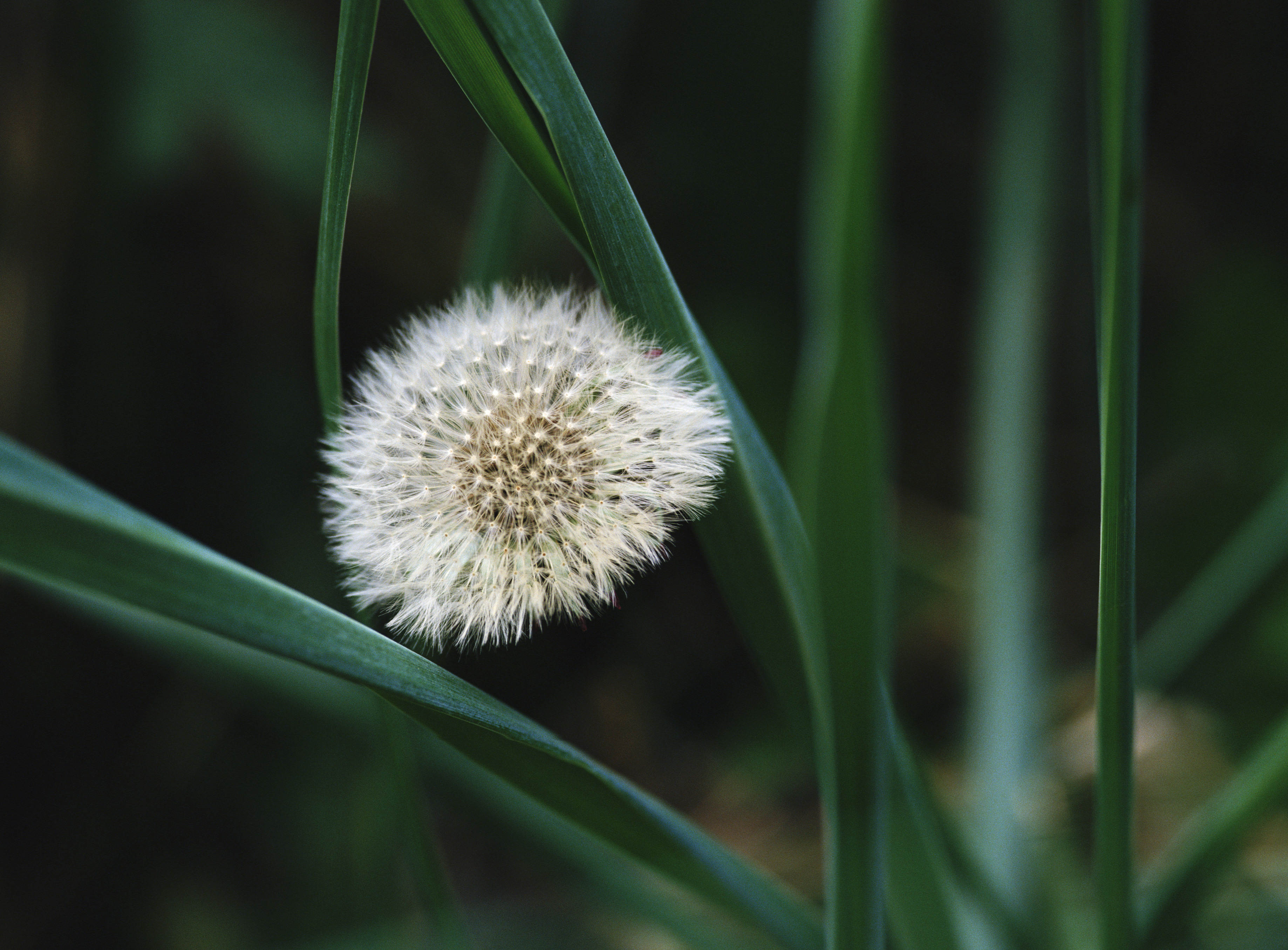 dandelion wallpapers and images   download wallpapers pictures 3675x2709