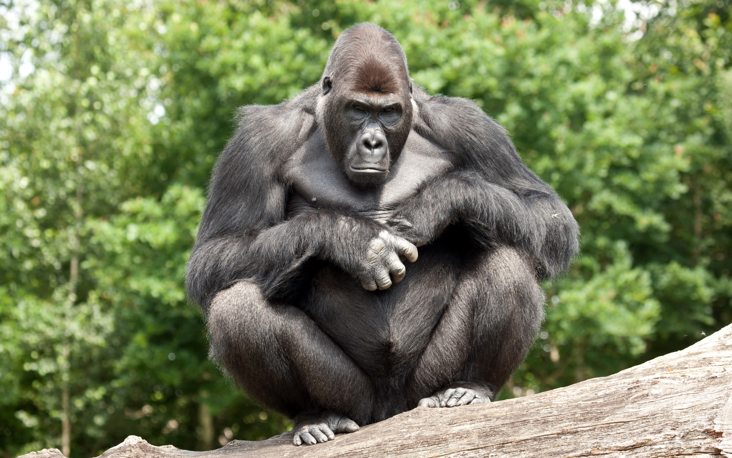 117 Gorilla HD Wallpapers Background Images 2560x1600