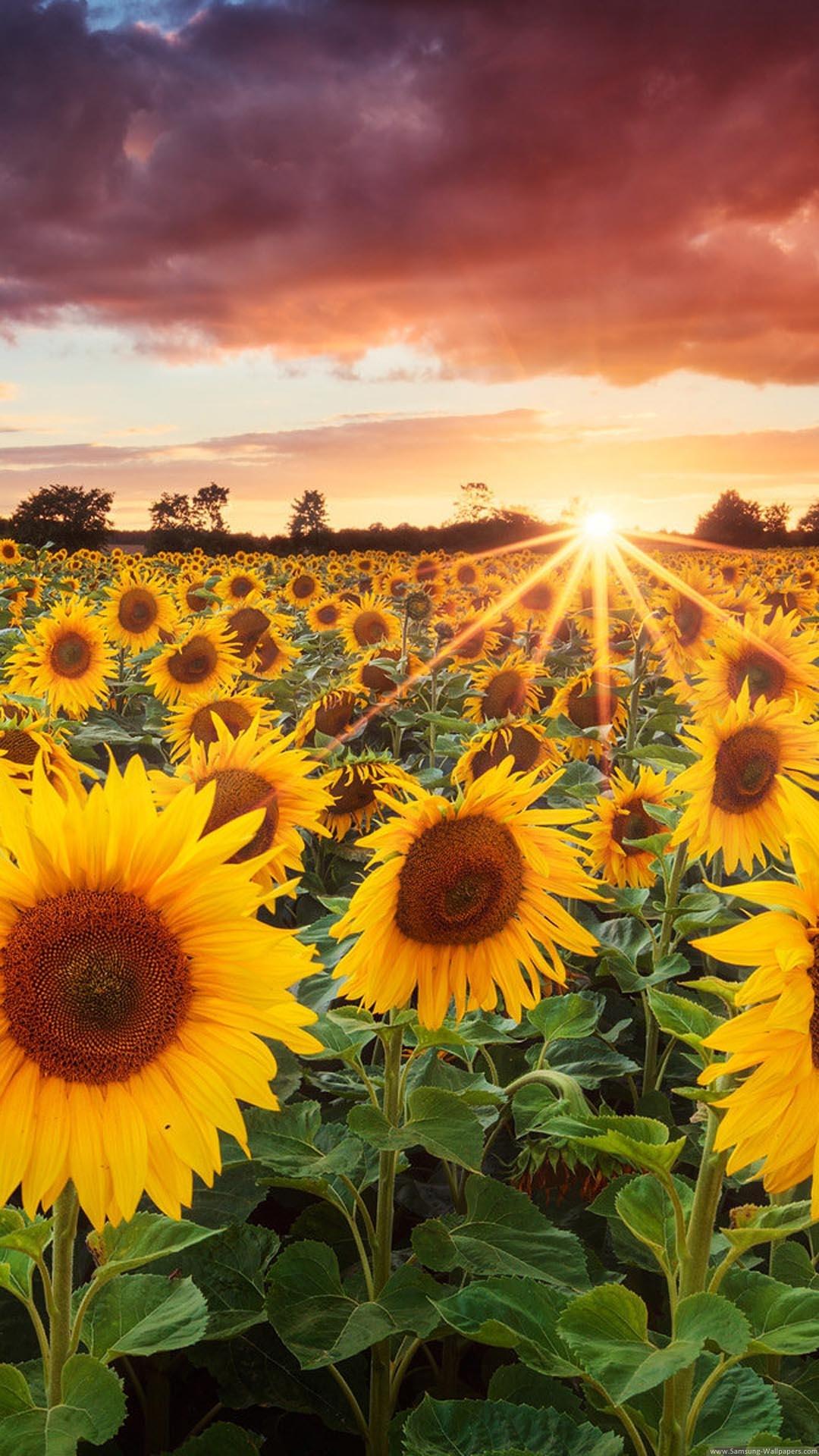 Sunflower Field Sunset iPhone 6 Plus HD Wallpaper iPhone 66S7 1080x1920