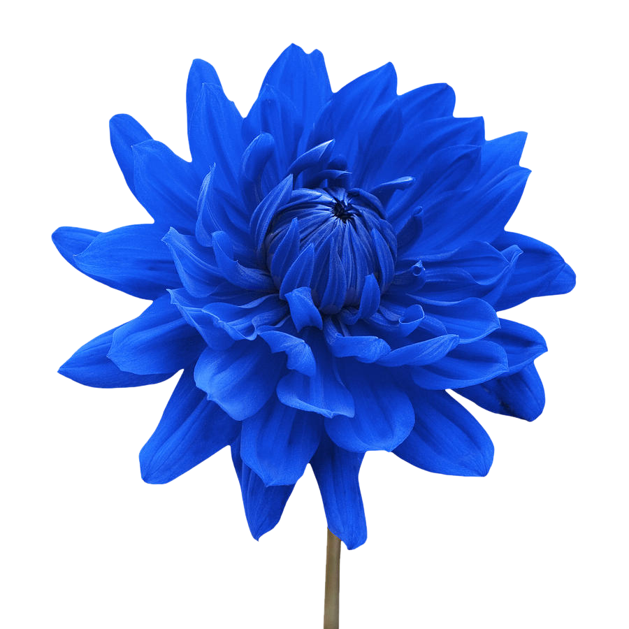 SYED IMRAN blue dahlia flower white background natalie kinnear 900x900