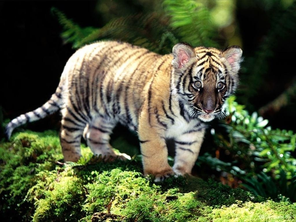Cute Baby Tigers 9560 Hd Wallpapers in Animals   Imagescicom 1024x768