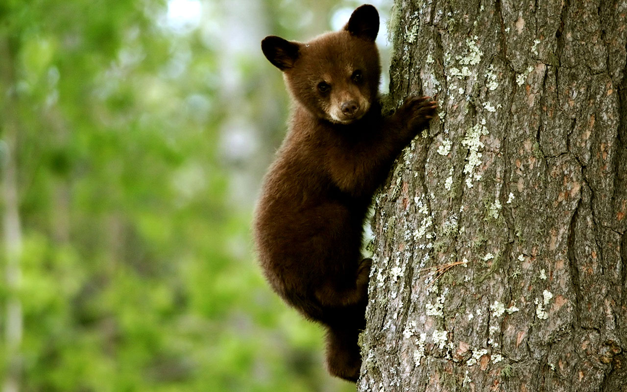 tree climbing Bear Animal Wallpapers   download wallpapers 1280x800