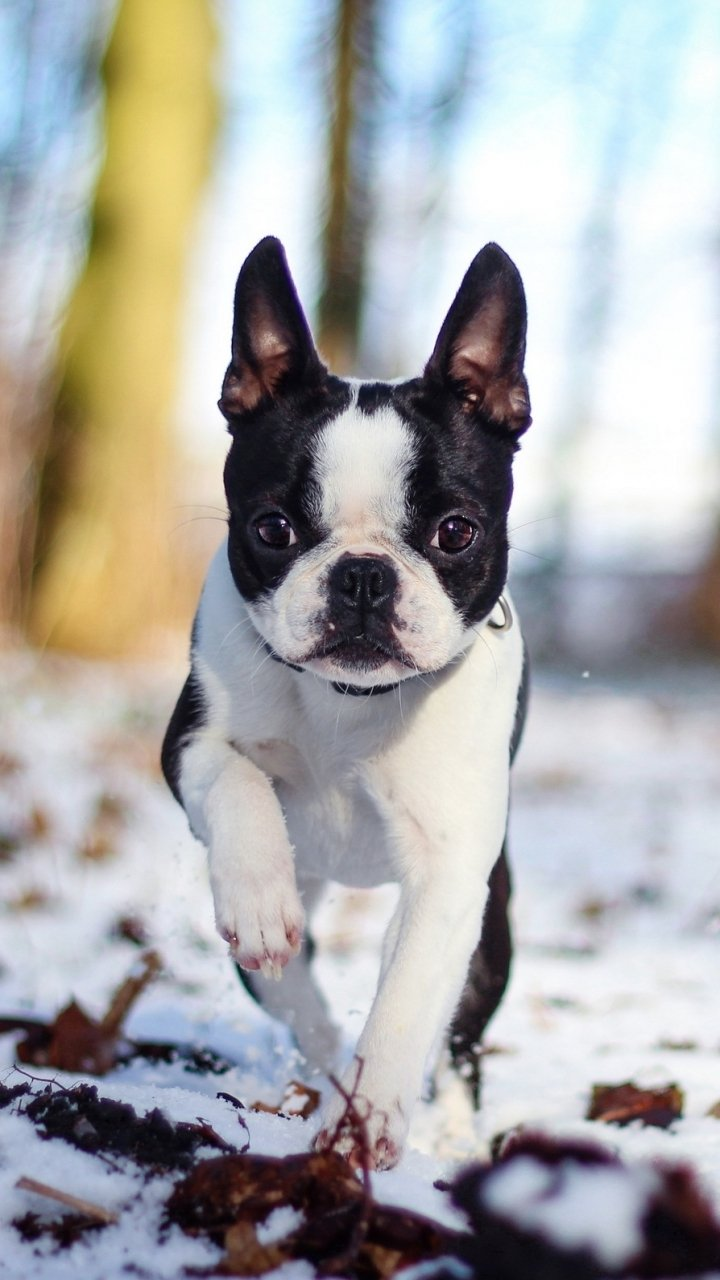 99 French Bulldogs Wallpapers On Wallpapersafari