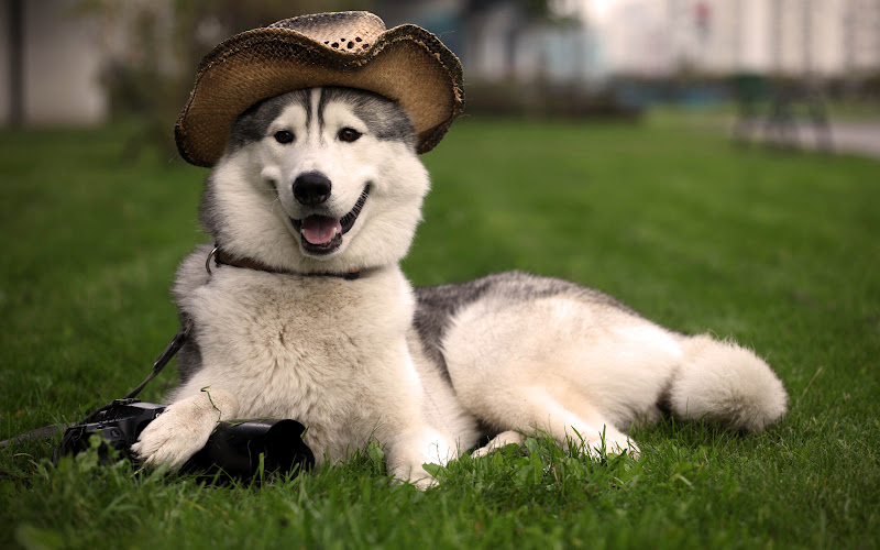 Funny Husky Dog THE COOLEST HD WALLPAPERS 800x500