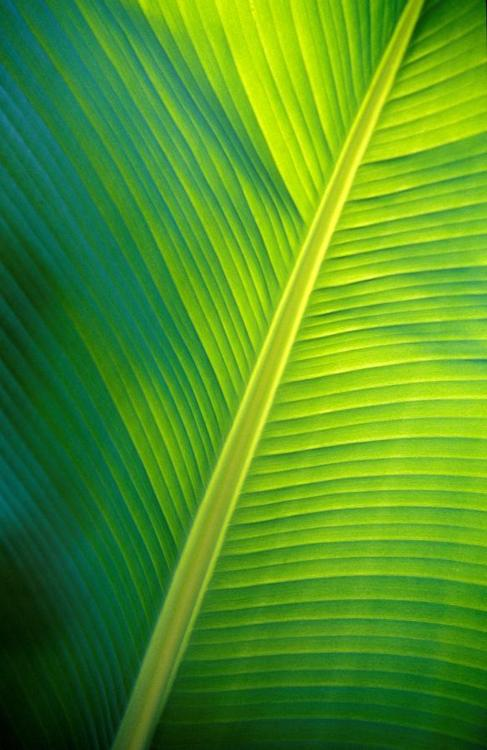 Banana Leaf Wallpaper 487x750