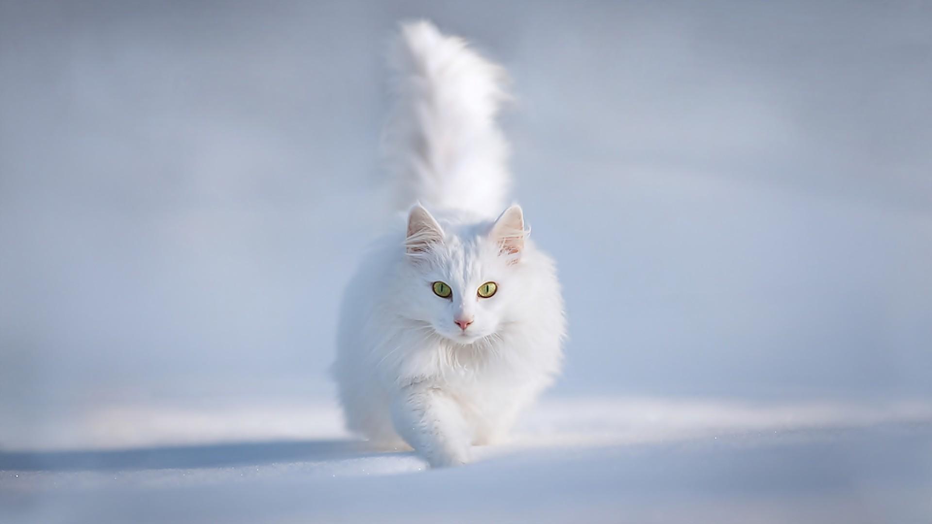 73 White Cat Wallpapers On Wallpapersafari