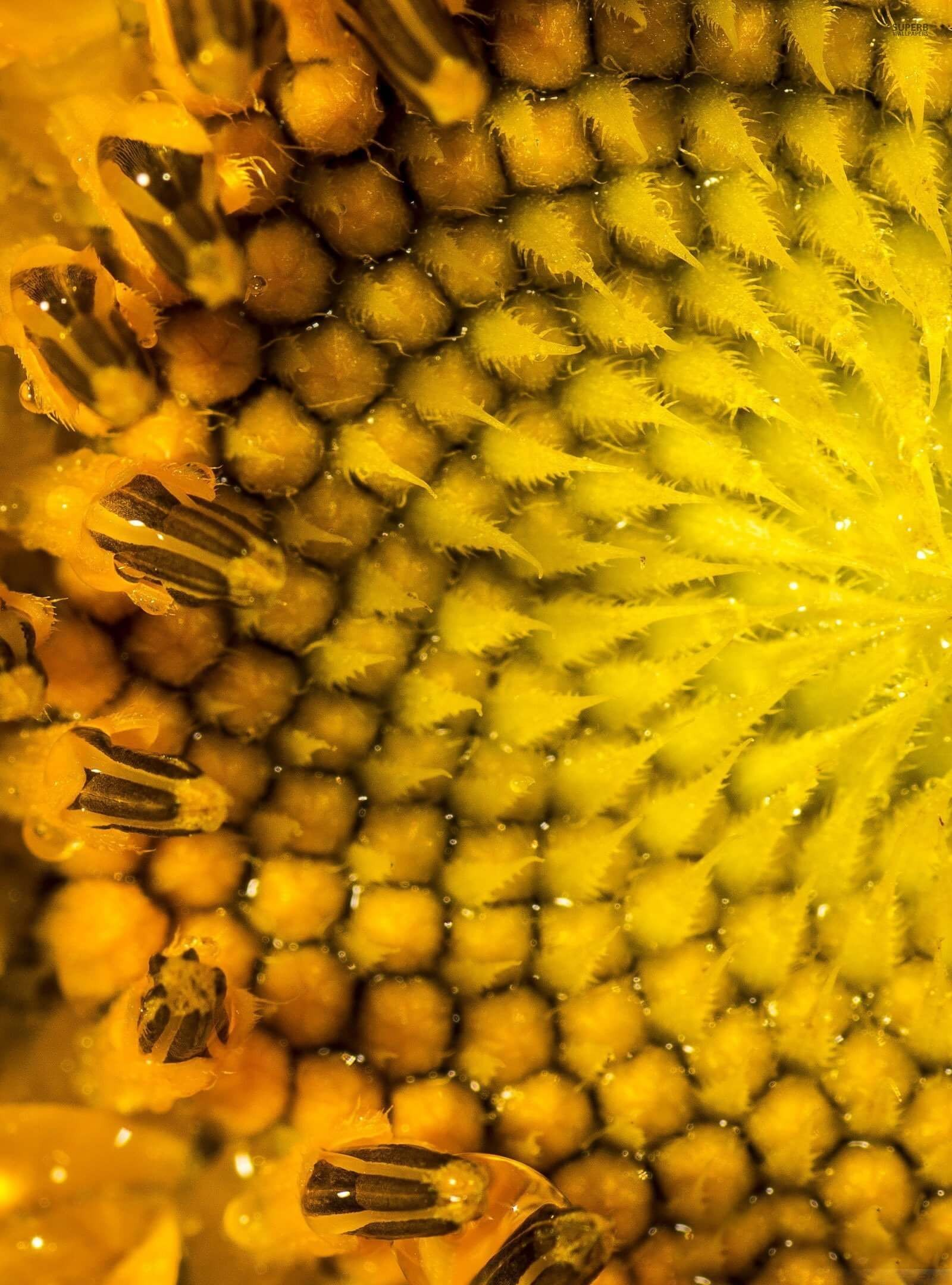 Sunflower Macro HD wallpaper for Kindle Fire HDX 89   HDwallpapers 1600x2160